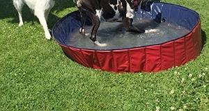 Dogge im Pool