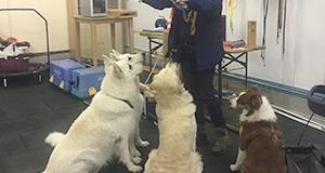 Training in der Halle mit drei Hunden