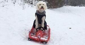 weisser Hund im Bobbycar auf Schnee