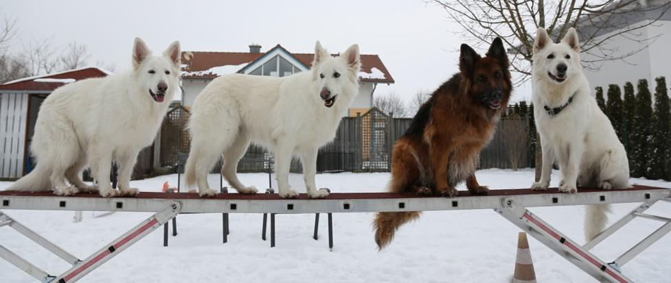 4 Hunde in Bobingen im Winter auf einer Leiter.