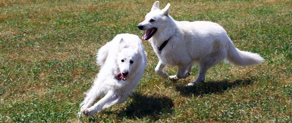 Zwei Hunde laufen auf einer Wiese in Augsburg.