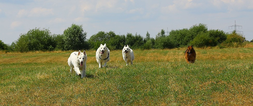Vier Hunde Laufen auf einer Wiese in Bobingen.
