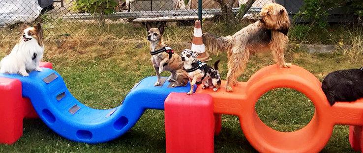 Kleinhunde auf großen Plastikteilen beim Training in der Hundeschule Bobingen